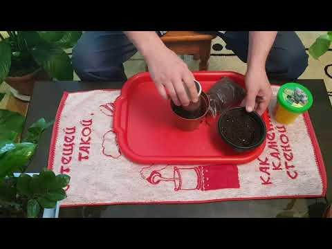 Ель голубая... Удачный опыт проращивания растения из семян со стратификацией материала.