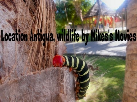 Wildlife Antigua in HD. Amazing animals in the Caribbean seen on holiday