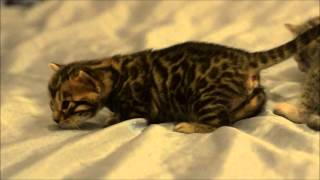 Mirage & Baloo's female kittens at 3 weeks
