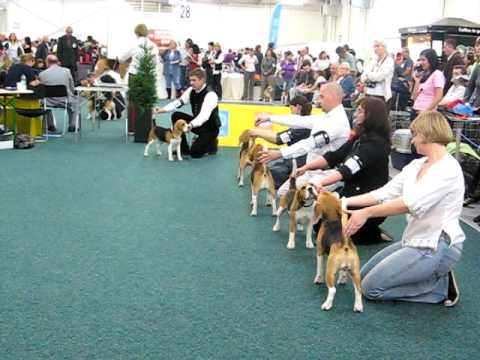 World Dog Show 2009 - Beagle - CAC Females