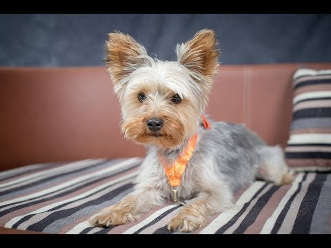 Scruff - Yorkshire Terrier - 3 Weeks Residential Dog Training