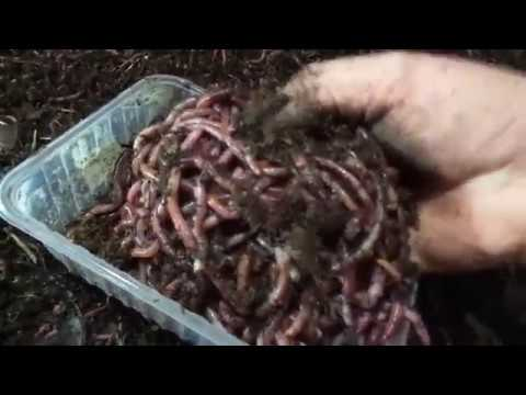 Отсеять 80 ящиков червя за день, легко!/ Разведение червя дендробена