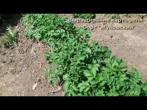 """Выращивание раннего картофеля. Ранний сорт """"Жуковский"""""""