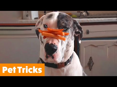 Funny Pets Doing Tricks | Funny Pet Videos