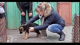 Как ПРАВИЛЬНО ВЫБРАТЬ ЩЕНКА Немецкой Овчарки. How to choose a German Shepherd puppy. Одесса.
