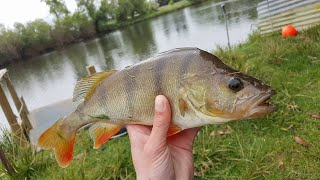 fishing for redfin perch