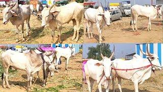 जत यात्रा खिल्लार खोंड व खिल्लार बैल बाजार khillar bull market