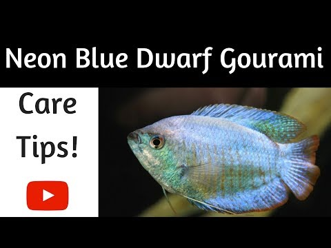 Neon Blue Dwarf Gourami Care Tips