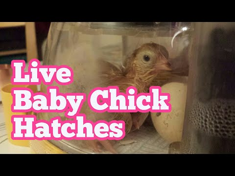Live! Baby Chick Hatching From Egg In Home Incubator / Brinsea Mini II Advance Egg Incubator
