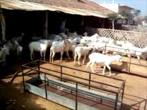 Sheep Farming In India 75 Km From Benguluru At Kaiwara Youtube