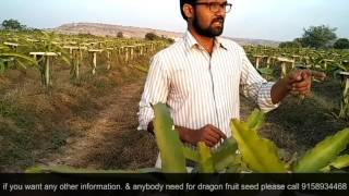 How to grow dragon fruit, dragon fruit information in marathi from maharashtra Sangli.