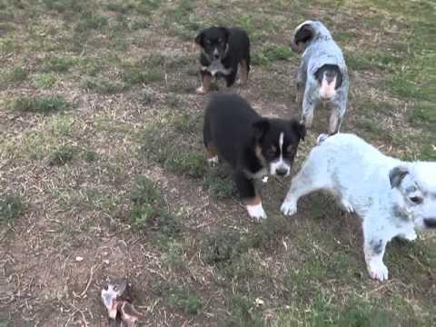 Queensland Heelers Puppies