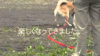 2歳の柴犬ちゃん、ストレスレベルが高く、咬みつきもある。 そこで、草...