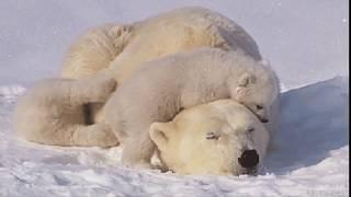 """Белые медведи"""