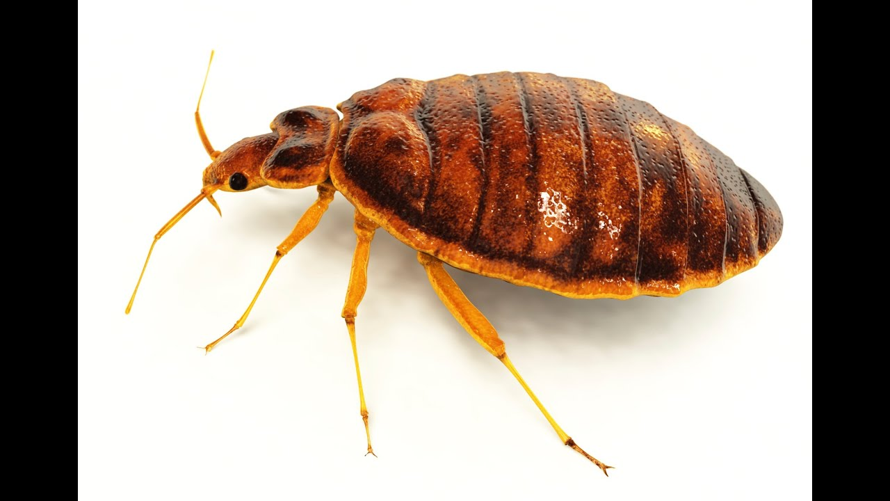 bed bugs pest control mission - 1280×720