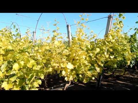 Виноград.Хлороз листьев винограда.Методы борьбы с этим заболеванием.