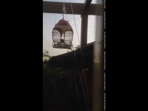 Merbok B Bird:  Lek 12