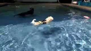 Rescued After Being Thrown Out Of A Moving Car Milo Shih Tzu Mix Loves To Swim    6315