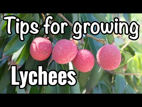 Pete's Tips for Growing Lychees in South Florida