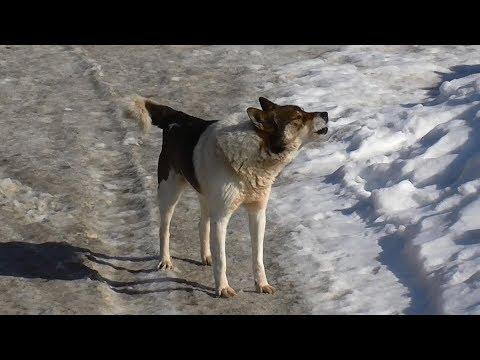 Pekingese 🐺 Spaniel 🐕 Peke 🐶 Mix 🐩 Herding Dog 💧 Briard 💦Woof 🔊 Sounds