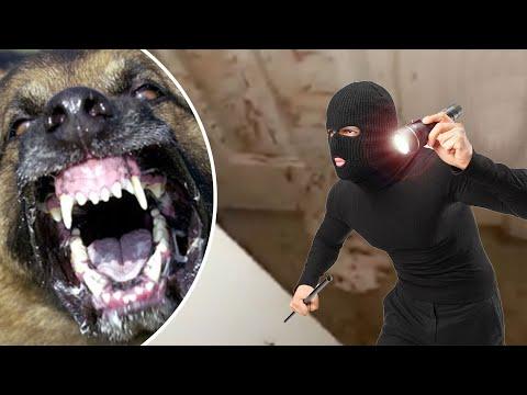 Anjing VS perampok; darah perampok berceceran di sekitar rumah ketika pemiliknya pulang