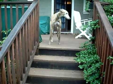 Greyhound dog runs to his favorite chair
