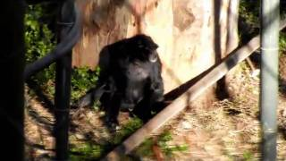 Monkey Banging Head Against Tree