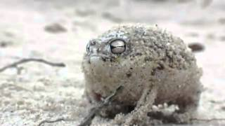 Мяукающая жаба!
