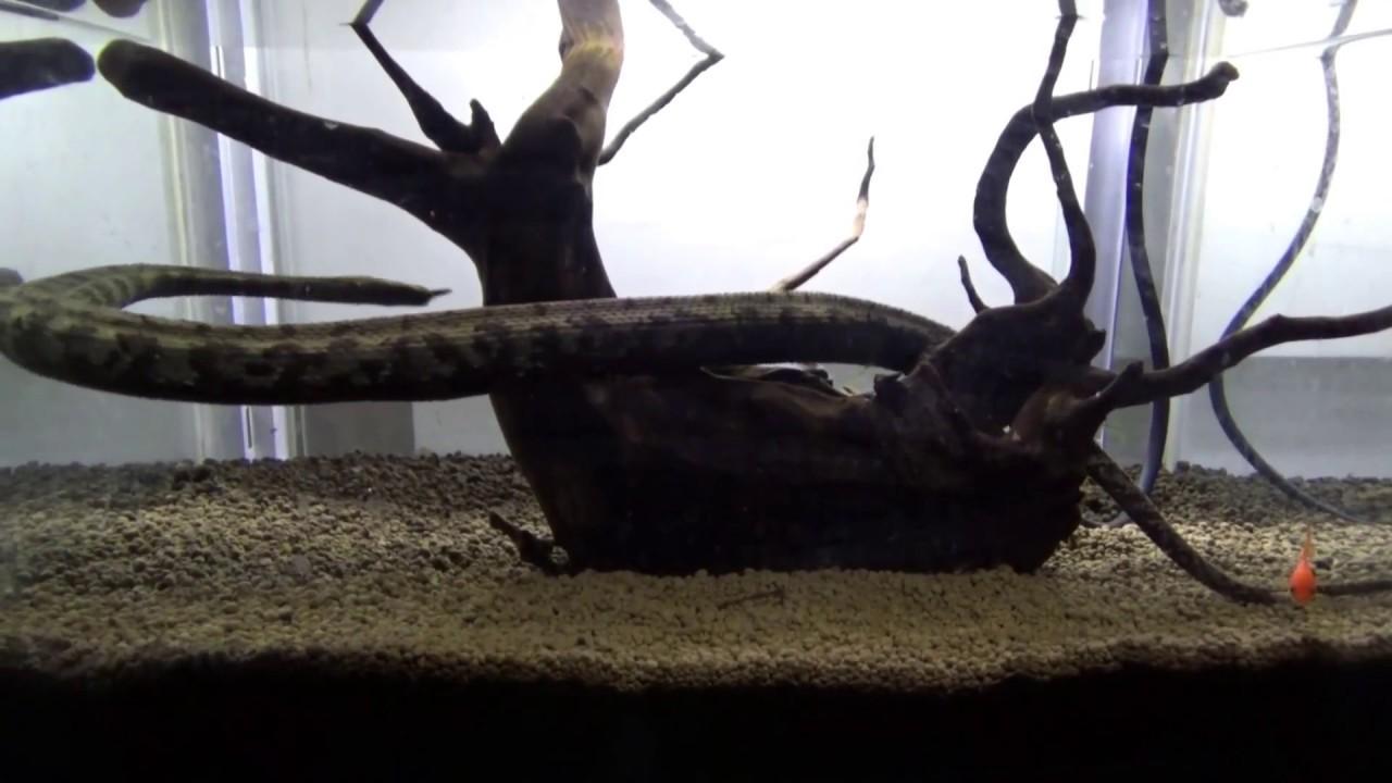 ヒゲミズヘビの貴重な動く映像 -...