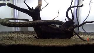 ヒゲミズヘビの貴重な動く映像