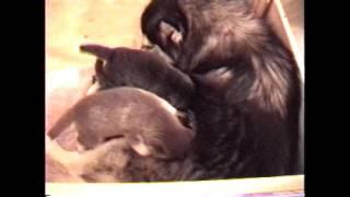 【癒し】仔犬のシベリアンハスキー達が超可愛い チャンネル登録お願いし...