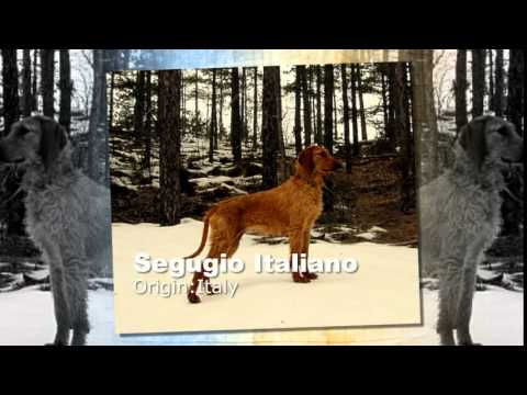 Seguguio Italiano Dog Breed