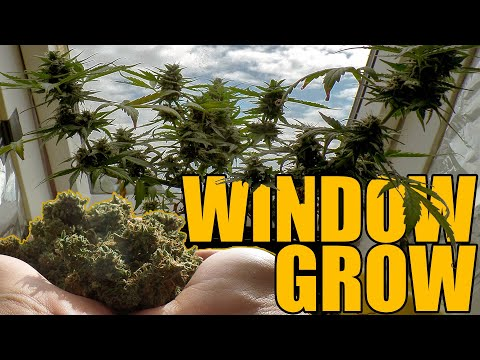 Northern Lights Automatic Window Grow – From Seed to Harvest Beginner Guide