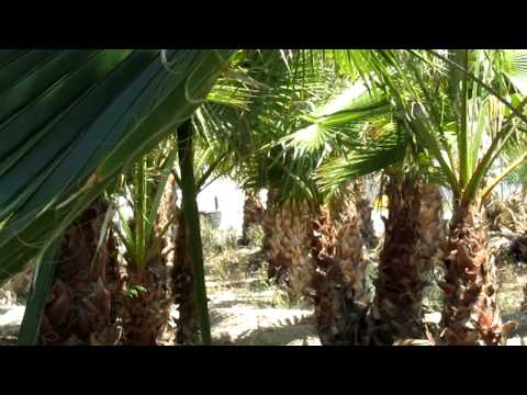 palmeras washingtonia.MOV