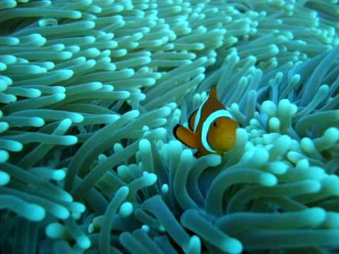 Diving Great Barrier Reef Australia Mike Ball - Clown Fish