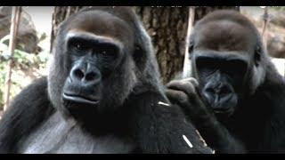 Grooming.Gorilla girl