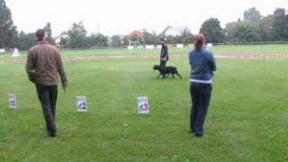 Rottweiler On Breeding Exam, Hch, Hjch Corin Von Rottenburg-weilstadt  Ztp. Video