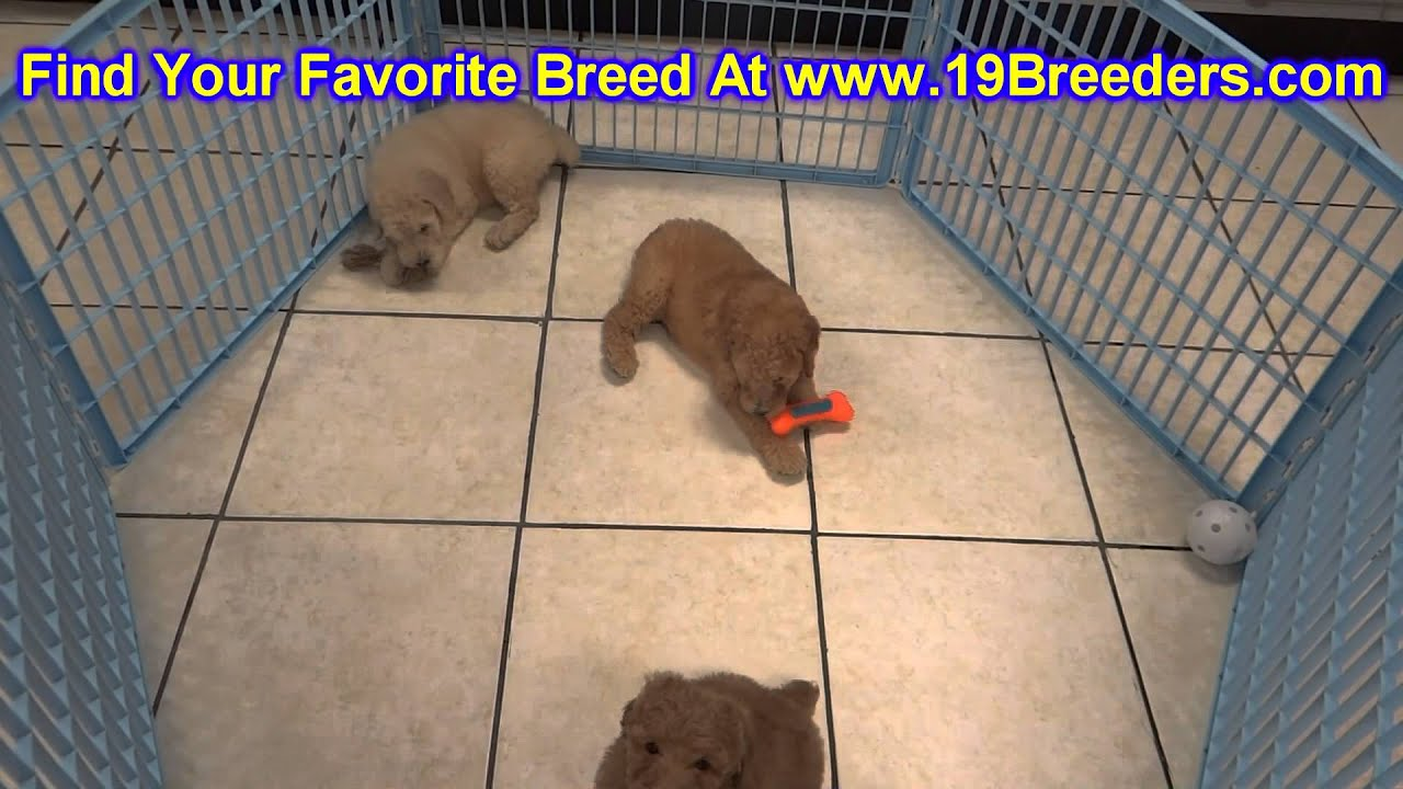 Goldendoodle Puppies For Sale In Duluth Minnesota County Mn