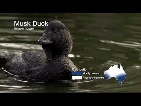 4.3 Musk Duck (Non-game Species)