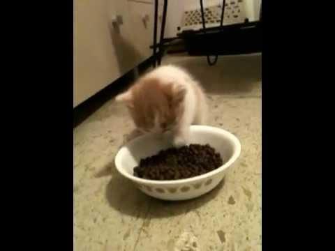 THEA Theodore VanCatt - MY New Domain RAWR! -- Turkish Van Cat Kitten Eating FOOD!
