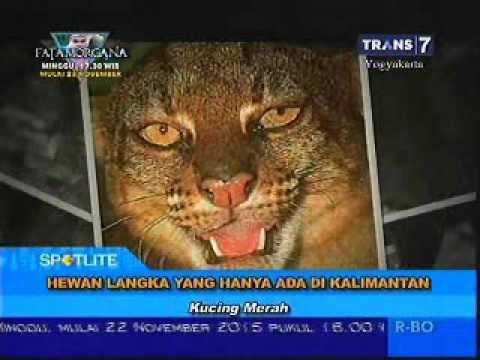 610 Gambar Hewan Langka Di Kalimantan HD Terbaru