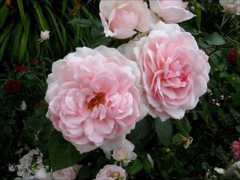 Мои розы 30 07 2017 , другая сторона  дорожки