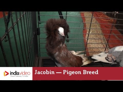 Jacobin — a Fancy Pigeon Breed | India Video - YouTube