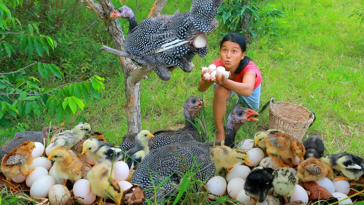 Women Found Pearl Guinea Keets in forest - Cooking Pearl Guinea for dog Eating delicious