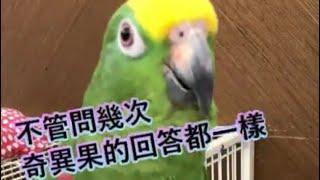 有事實才敢大聲【小黃帽鸚鵡】