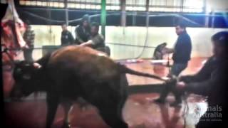 ✦AUSTRALIAN BULLS BUTCHERED IN THE MOST BARBARIC WAY IN GAZA✦