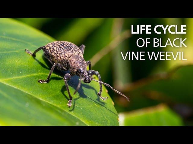 Life cycle of black vine weevil