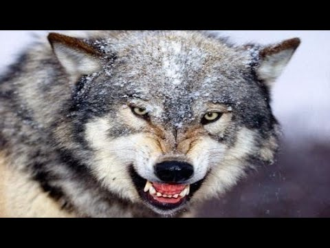 ماهو اسم صوت الذئب Youtube