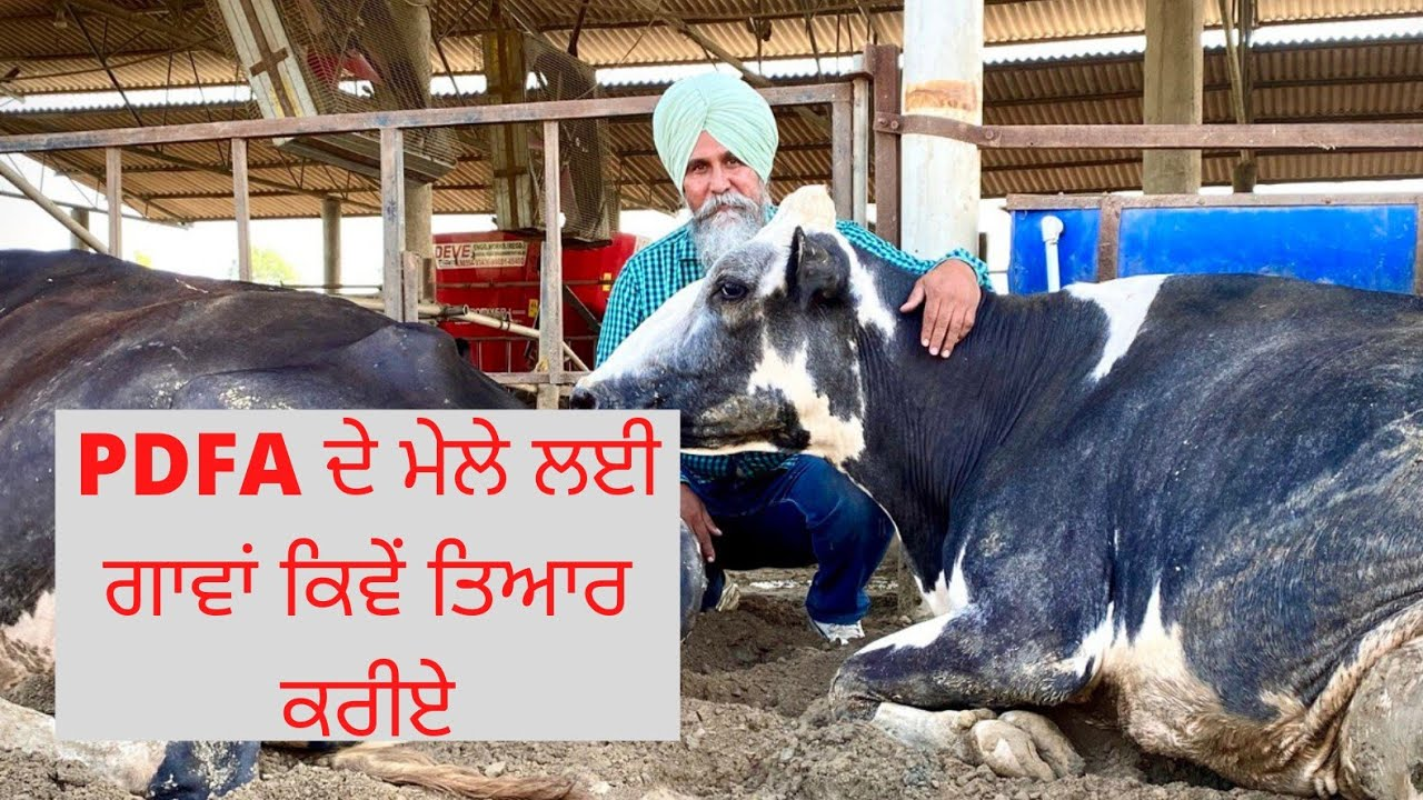 HOW TO PREPARE ANIMALS FOR PDFA BREEDING AND MILKING COMPETITION AULAKH DAIRY FARM | RAMPURA PHUL