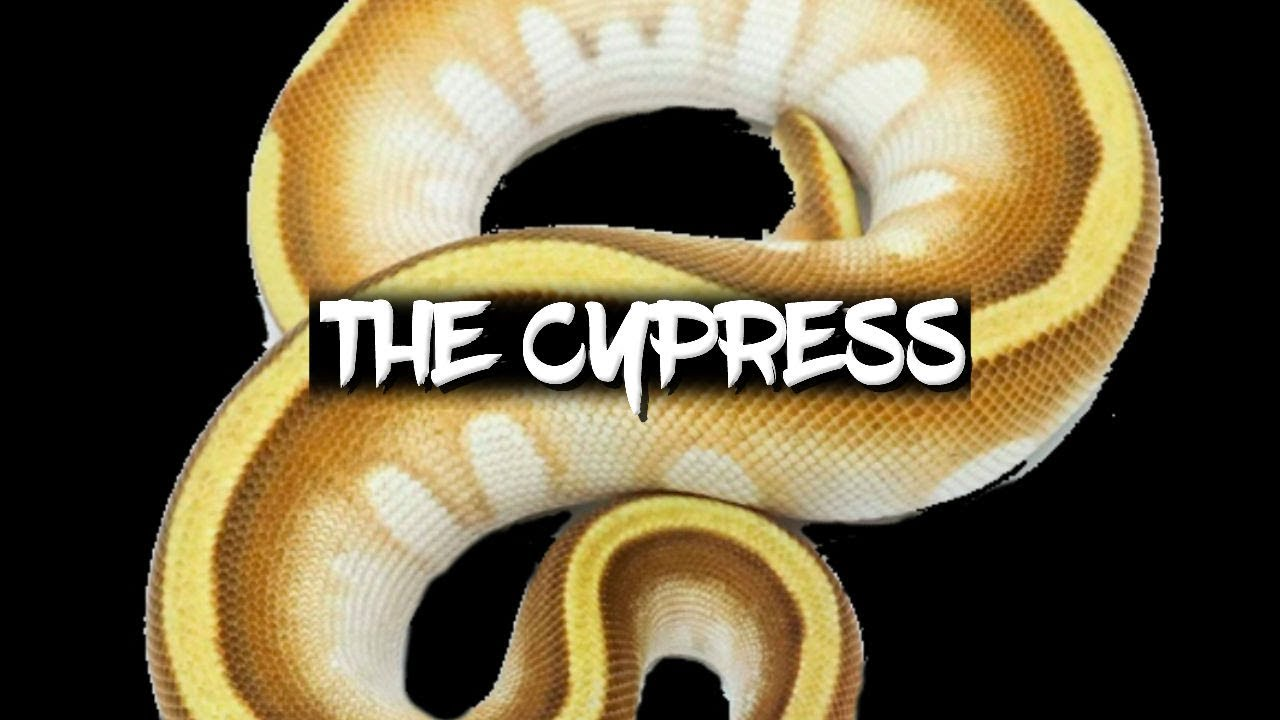 The Potential Of The Cypress Ball Python Morph Youtube